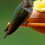 Hummingbird stare