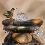 Hummingbird Taking Bath