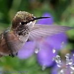 Hummingbird Waterdance