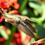 Hummingbird Zooming by