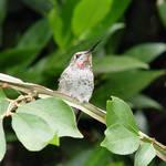Hummingbird looking skyward