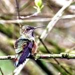 Hummingbird after bathing