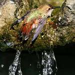 Hummingbird Chilling Out in Bath