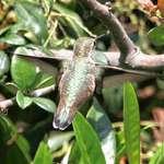 Hummingbird - Rufous back feather detail