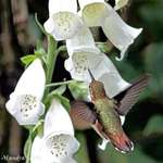 Hummingbird near Foxglove Flowers