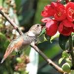 Hummingbird in Flight, feeding at Japonica
