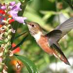 Hummingbird at Obedient Plant