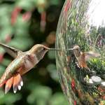 Hummingbird Open beak on gazing ball