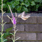 Hummingbird whirling wings