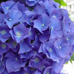 Blue Hydranger
