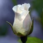 Iceburg rose