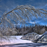 Iced Birch