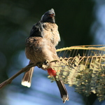 Red Vented Bulbuls