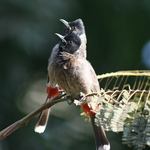 Red Vented Bulbuls 2
