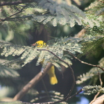 Golden Oriole 2