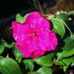 Impatient blossom