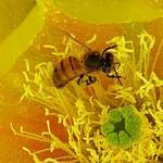 Pollen Magnet