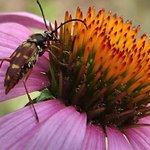 Bug on coneflower