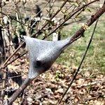 Tent catterpillar nest