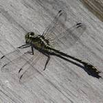 Dragonfly and Shadows 1