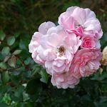 Inside the Garden Gate Roses Grow