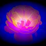 `Rose`
