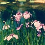 Iris by the Pond