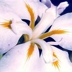 Iris Sunrays