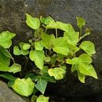 Ivy On A Rock