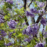 Jacaranda Tree