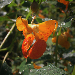 Jewelweed in Morning Light