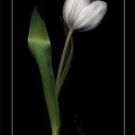 Joe's Tulip