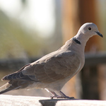Just A Dove