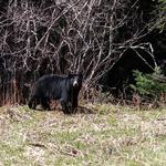 Just another Black Bear