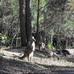 Kangaroos at Morrisett (2)