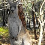Kangaroos at Morrisett (4)