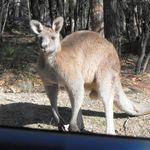 Kangaroos at Morrisett (5)