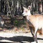 Kangaroos at Morrisett (6)