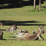 Kangaroos at Morrisett