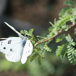 White Butterflies Kissing
