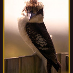 Kookaburra full on..