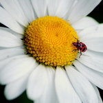 Lady Bug on a Daisy