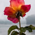 Lake J Rose