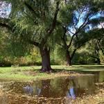 weeping willow 3