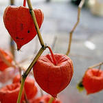 Chinese Lantern Plant