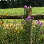 Late Summer Fenceline