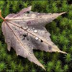 Leaf with Dew on Moss