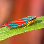 Red-banded Leafhopper 2