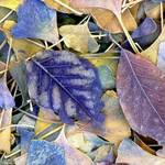 Ginko leaves 4