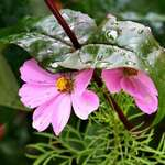 Leaf Umbrella over Cosmos flowers